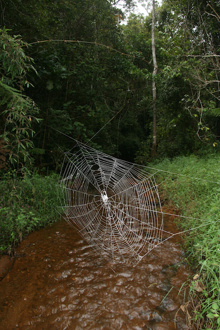 Web of Darwin's bark spider