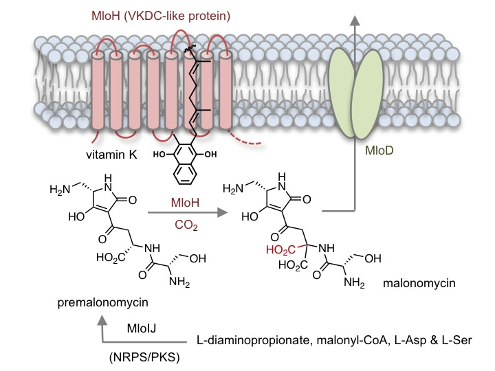 Biosynthetic pathway, with a highly unusual carboxylase enzyme (MloH), producing a structurally unique antibiotic malonomicin.