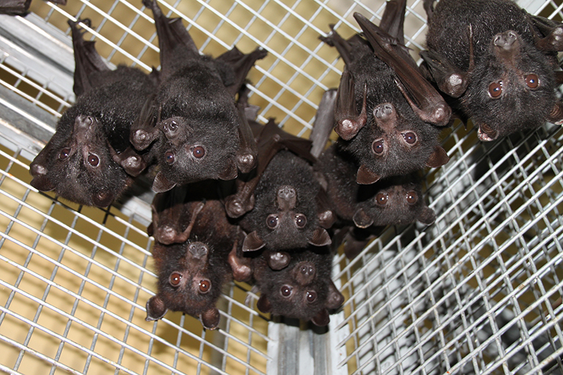 Pteropus alecto pups (black flying fox)
