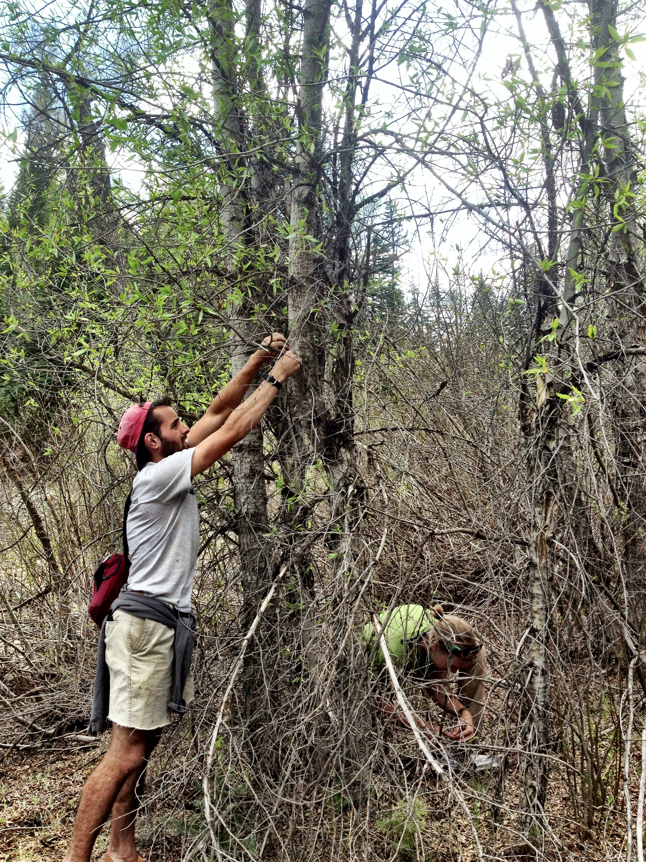 Sampling Populus angustifolia cuttings and soils in the wild. Photo credit: Ian Ware.