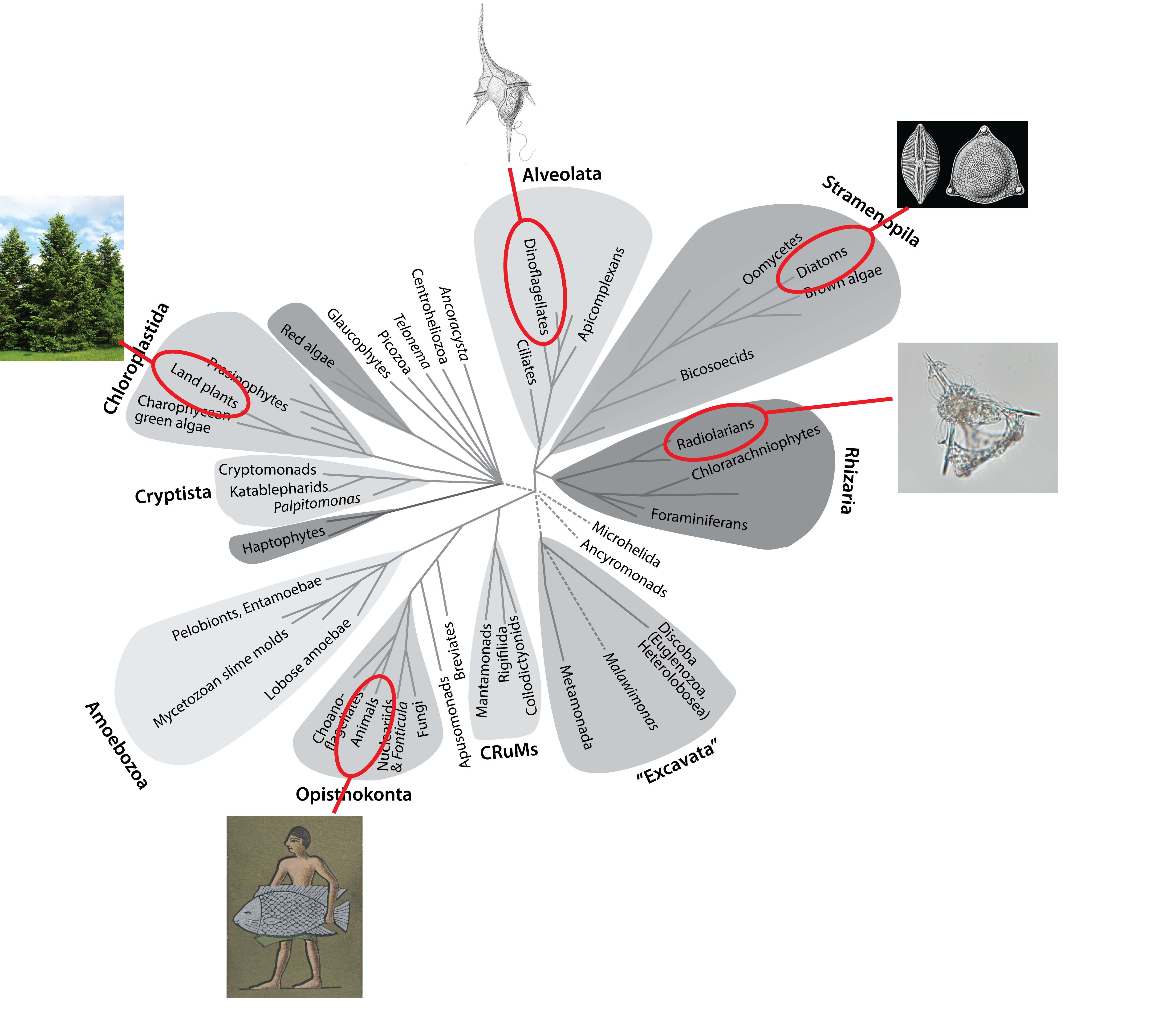 Eukaryote tree of life