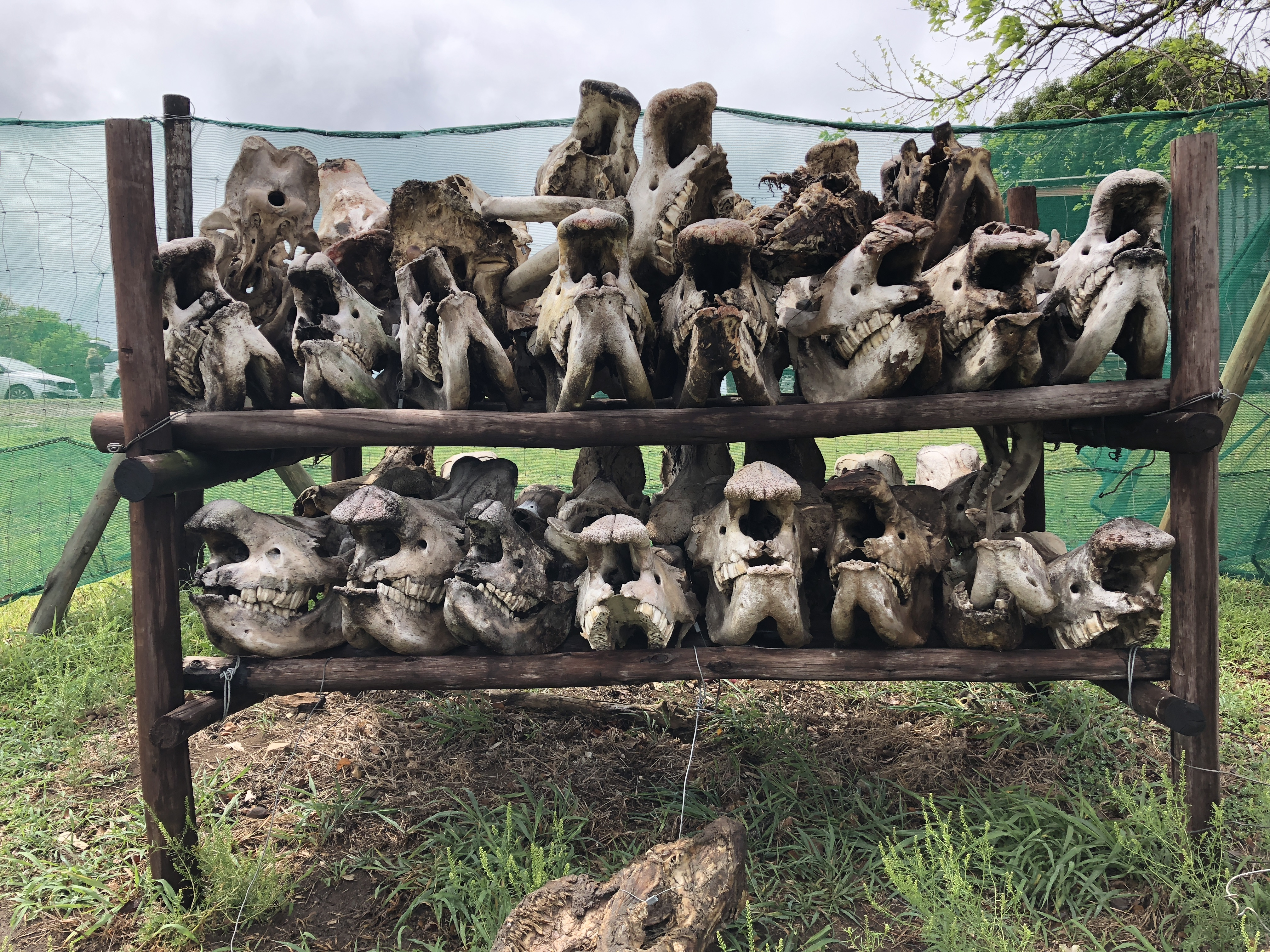 Skulls of poached rhino skulls outside ranger station in South Africa (Credit: Gore).