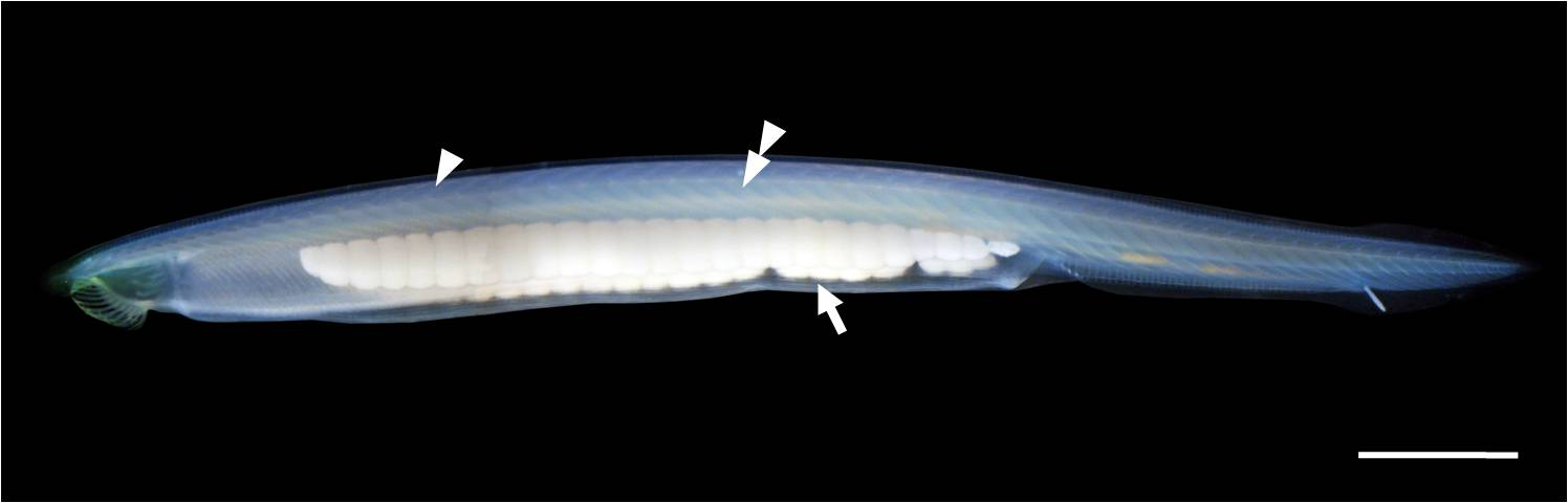 Picture of a single adult amphioxus