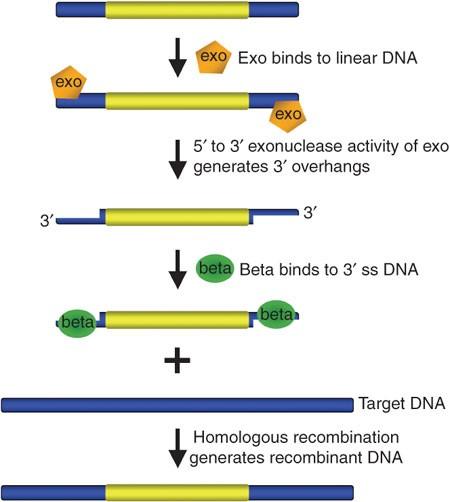 Recombineering: a homologous recombination based method of genetic engineering