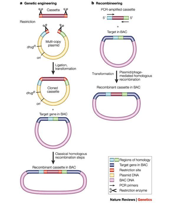 Genetic engineering vs. Recombineerin