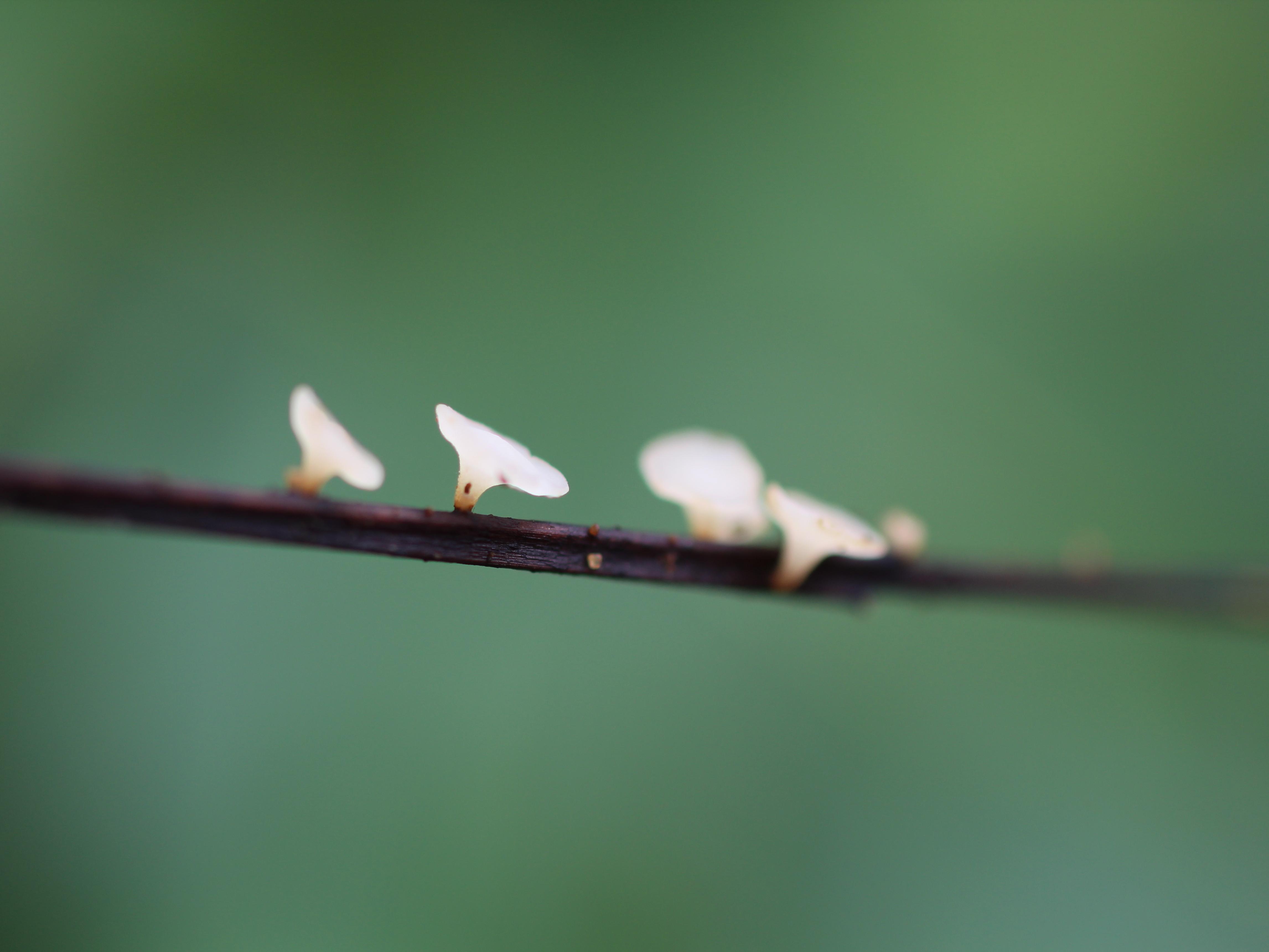 Hymenoscyphus fraxineus fruiting bodies