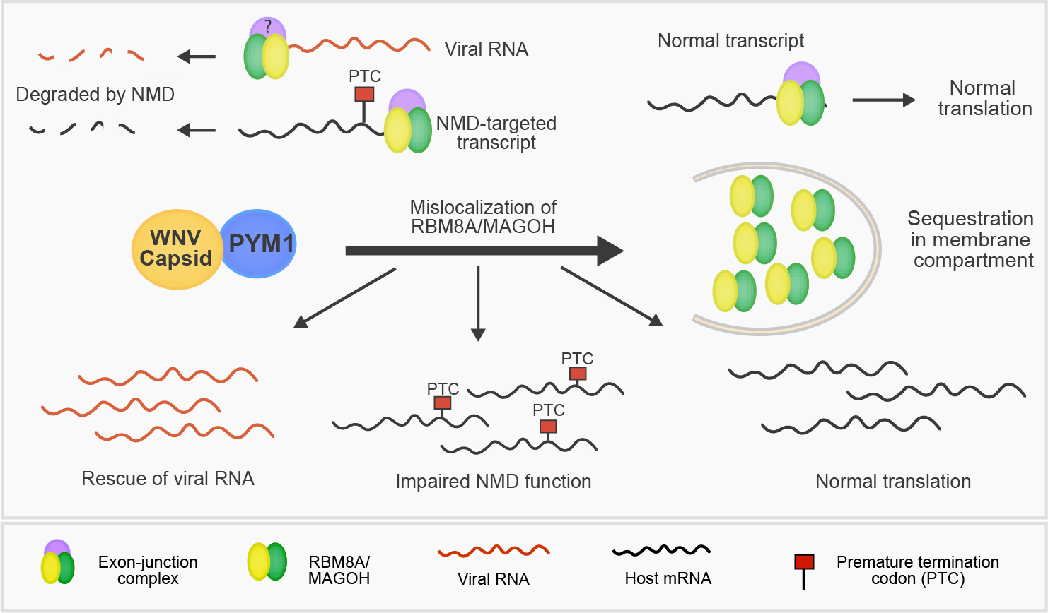 Role of PYM1 and NMD in flaviviral infection.