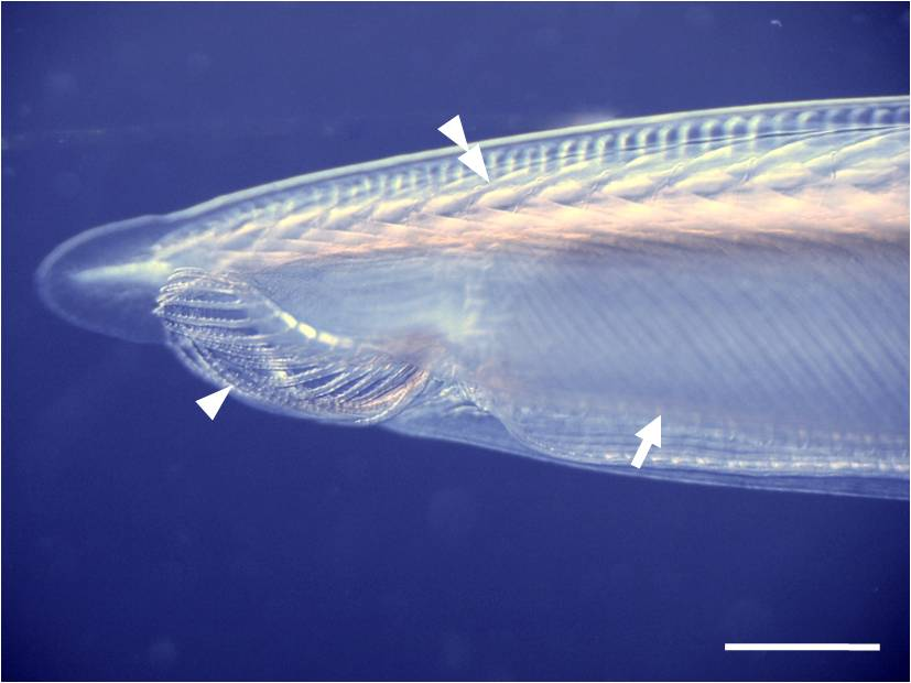 Focus on the anterior part of an adult amphioxus