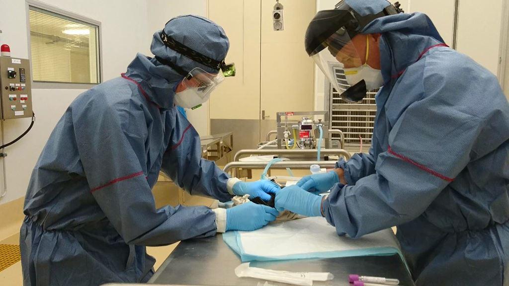 Anesthetizing a bat (flying fox) at QASP