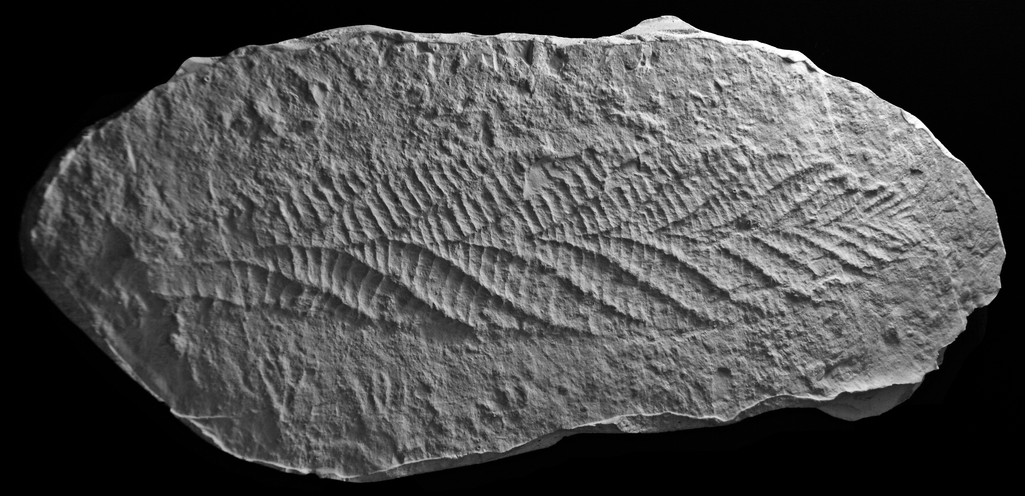 ediacaran rangeomorphs Rangeomorphs from the ediacaran of avalonia are among the oldest known complex macrofossils and our understanding of their ecology, ontogeny and phylogenetic.