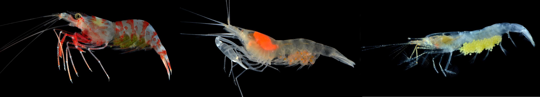 Caridean shrimp