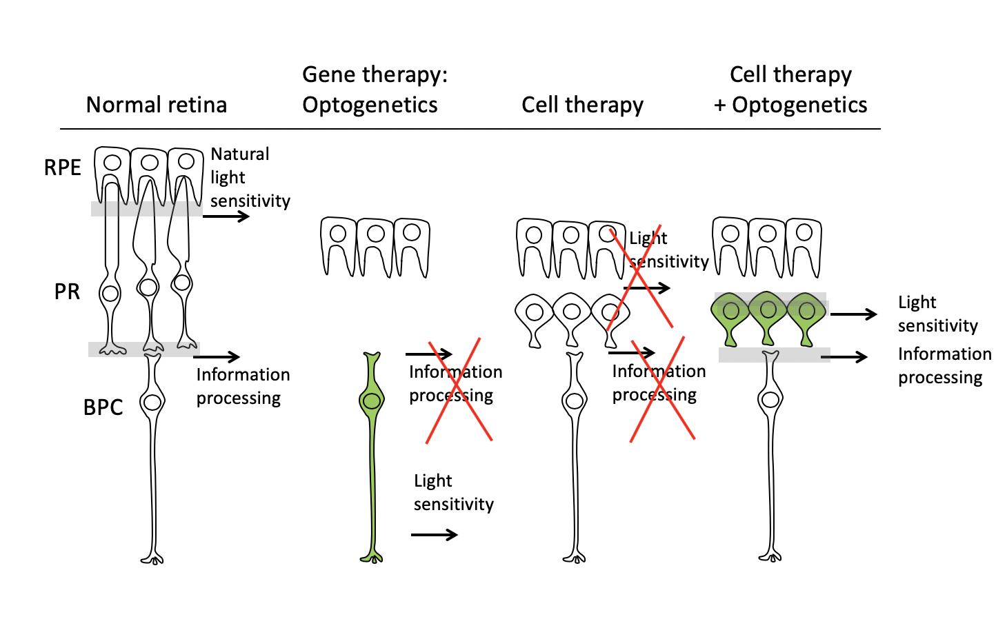 Gene therapy meets cell therapy in the fight for sight
