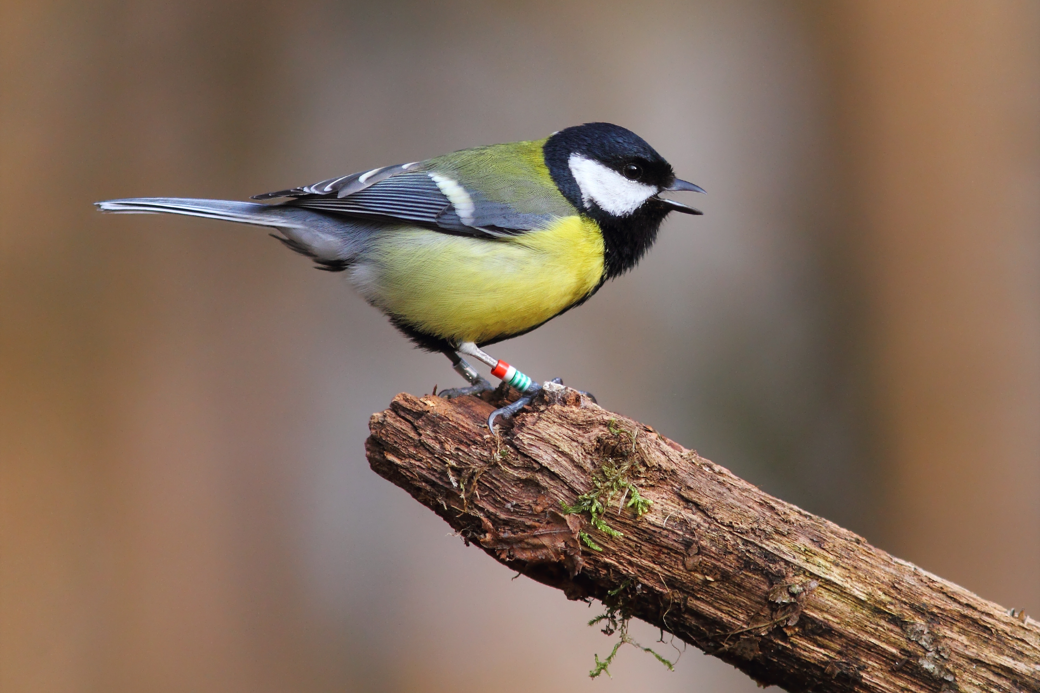 A great tit (Parus major) in De Hoge Veluwe (The Netherlands). The population of this species was followed for 34 consecutive years. Photo credit: M E Visser