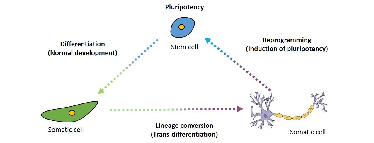 Simplified and modified illustration of Waddington's epigenetic landscape