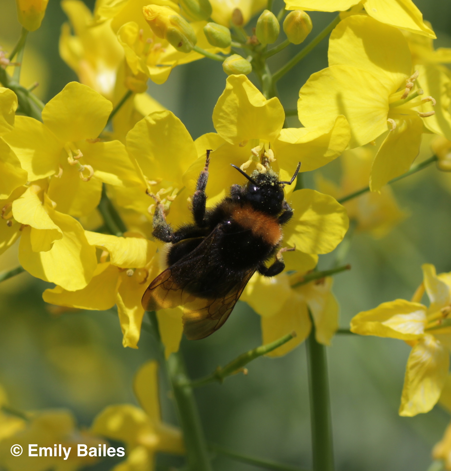 Bumblebee queen foraging on oilseed rape (photo: Emily Bailes)