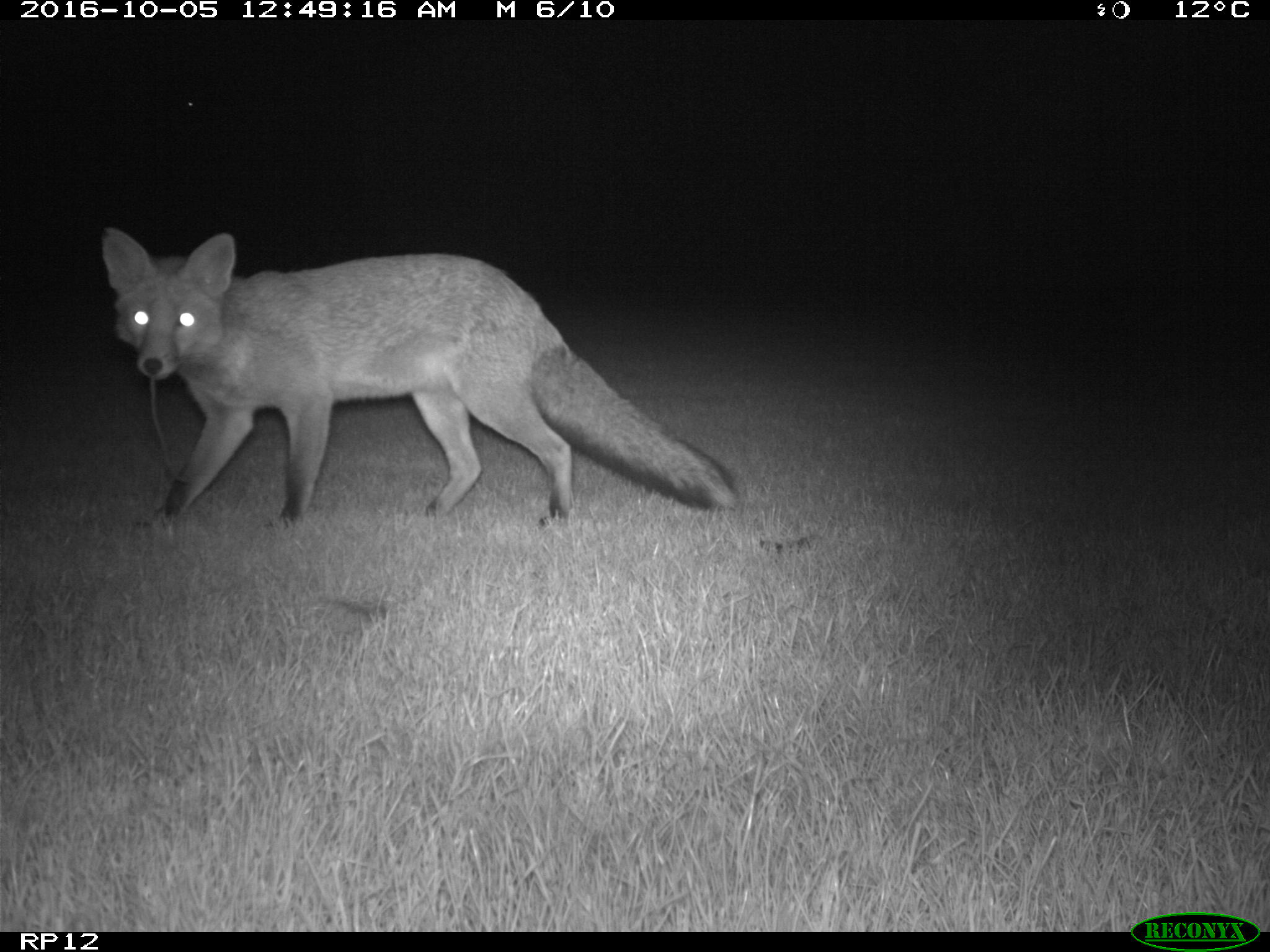 A fox about to feed on an earthworm