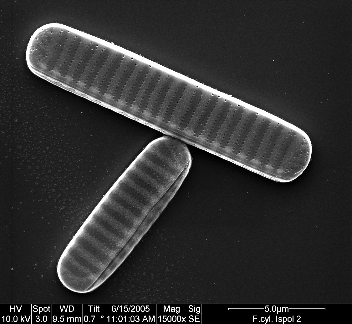 Scanning electron micrograph of two cells of Fragilariopsis cylindrus