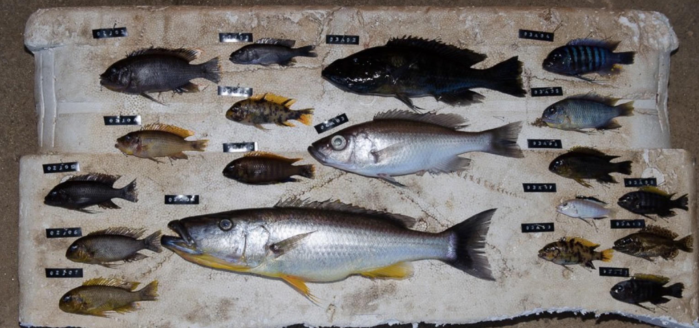 Malawi cichlids