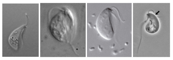 Some Carpediemonas-like organisms studied for this paper: Dysnectes brevis, Aduncisulcus paluster, Kipferlia bialata, and Ergobibamus cyprinoides. Kipferlia bialata image taken from Yubuki et al. 2013 Protist 164:423–439; Ergobibamus cyprinoides image taken from Park et al. 2010 J. Eukaryot. Microbiol. 57(6):520–528