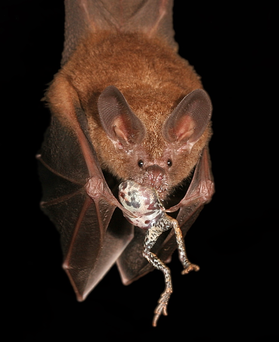 Frog-eating bat. Photo Alex Baugh