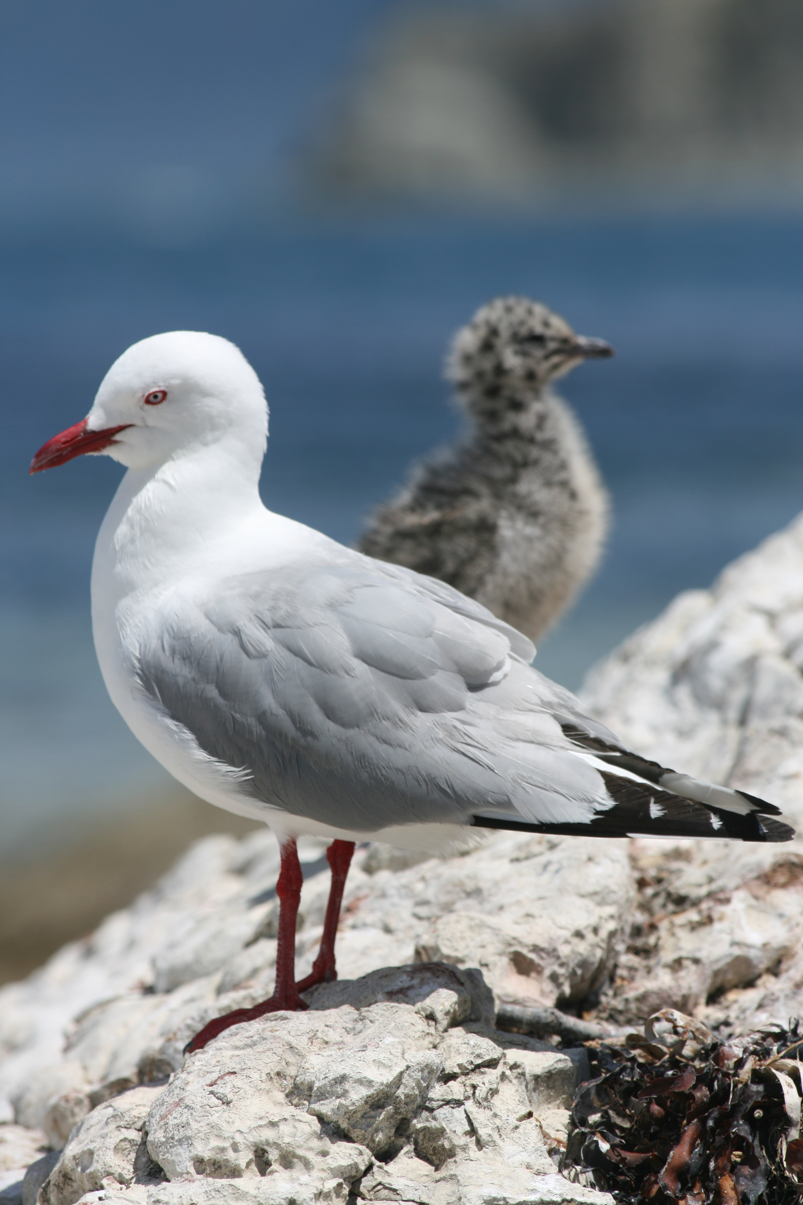 Adult red-billed gull (Larus novaehollandiae scopulinus) with chick. The birds are part of a 54 year study in the Kaikoura Peninsula, New Zealand. Photo credit: D A Mills