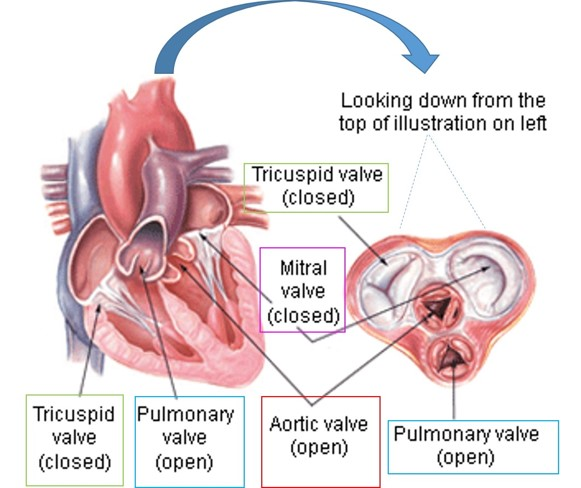 Heart Valves Illustrated