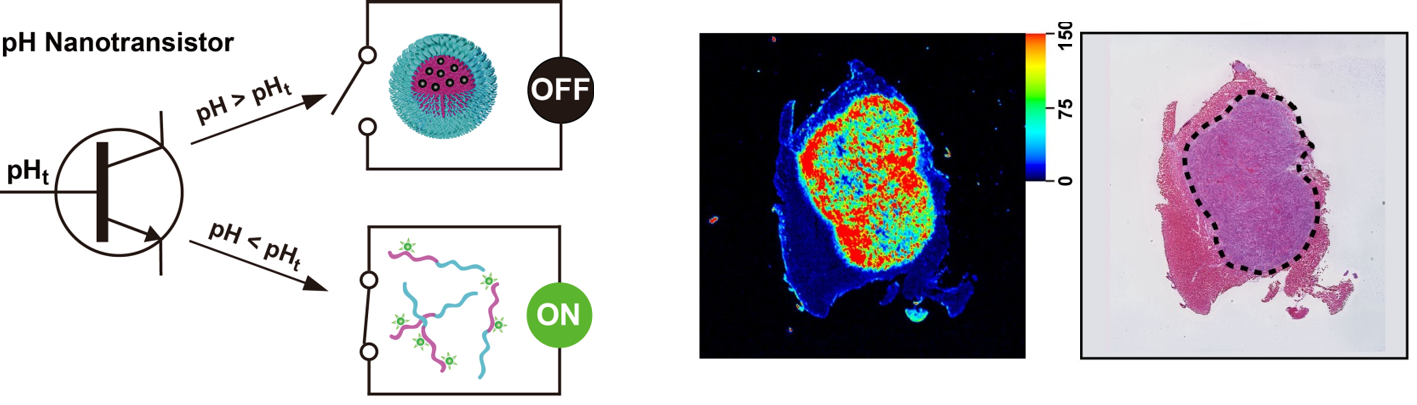 Figure The all on or all off behaviour of the nanoprobes is analogous to transistors and leads to sharp and accurate fluorescent delineation of cancer margins