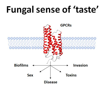 Image 2: GPCRs control fungal traits important for disease.