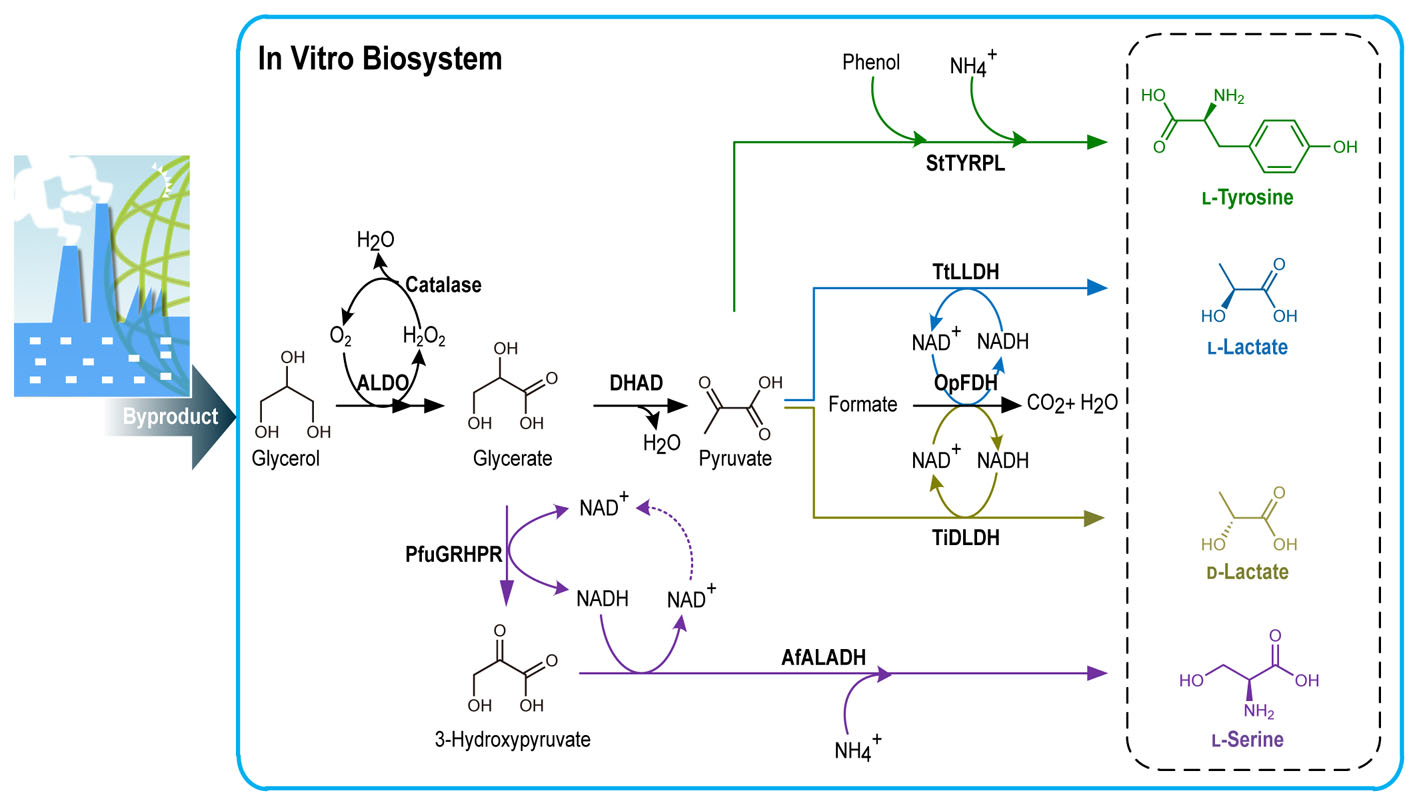 biotransformation of glycerol into value-added compounds is of significant  importance for the development of the biodiesel industry and environmental
