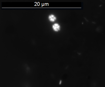 Fig. 3. Baltic Sea microorganisms grown with iron-chips for ~ 3 years.