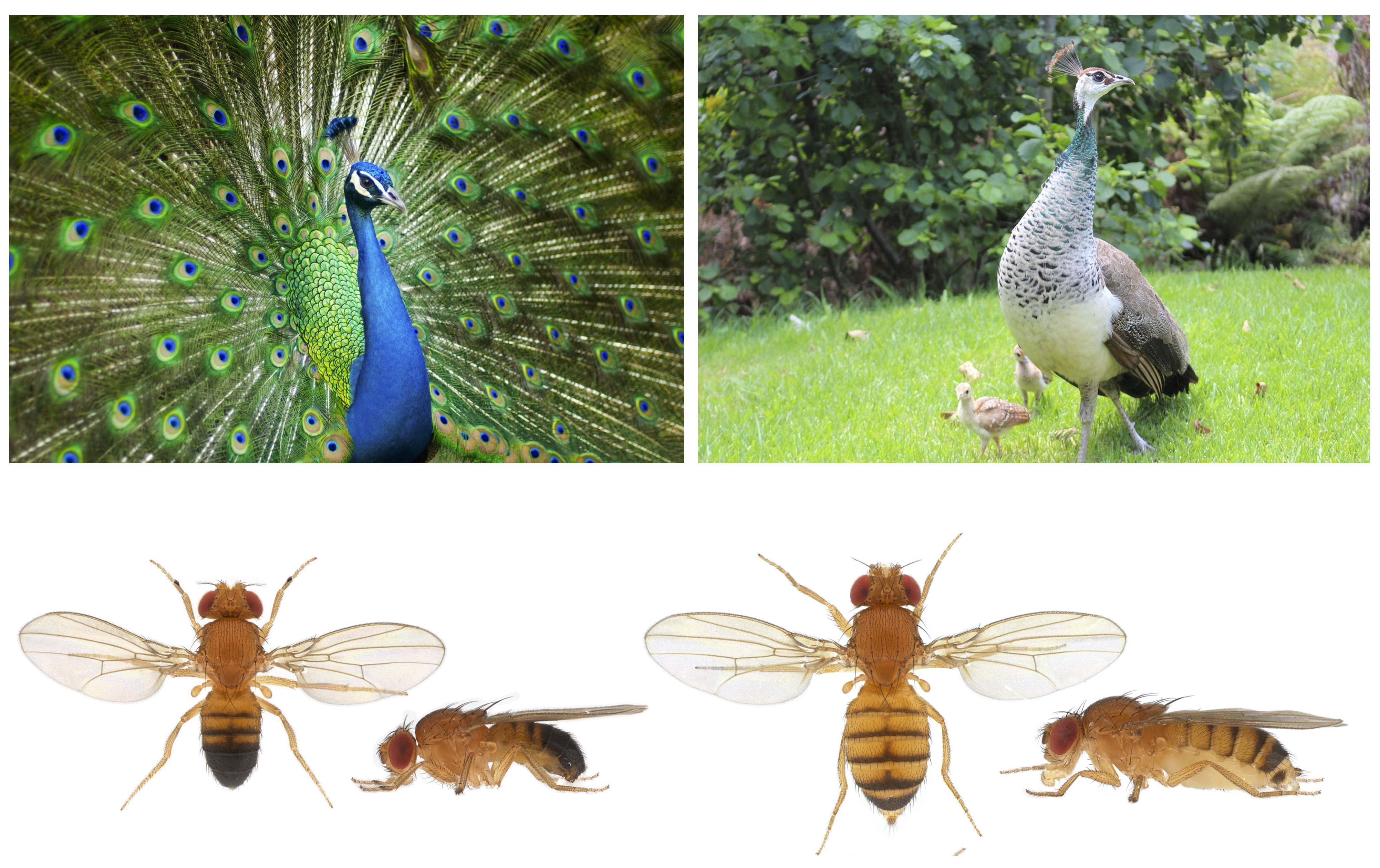 How do sexual selection and natural selection conflict