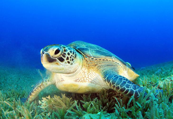 Green turtles have temperature dependant sex determination