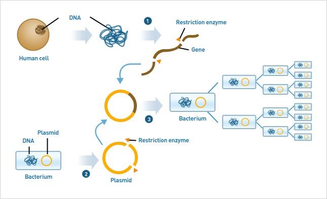 Figure 1: Plasmid-based DNA cloning