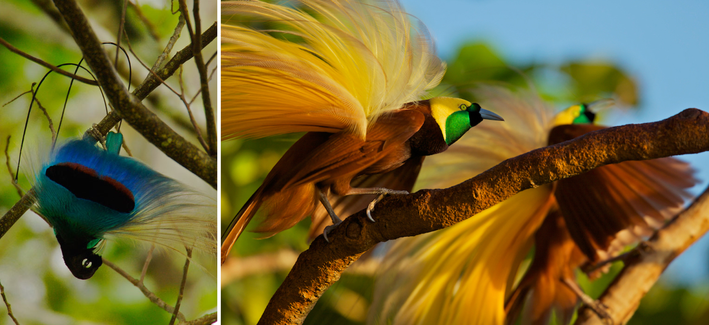 Sex chromosome evolution of Wallace's birds-of-paradise