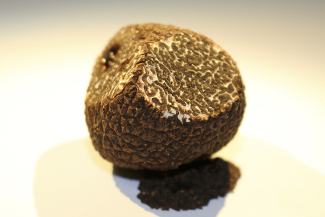 Black Truffle of Périgord (Tuber melanosporum)