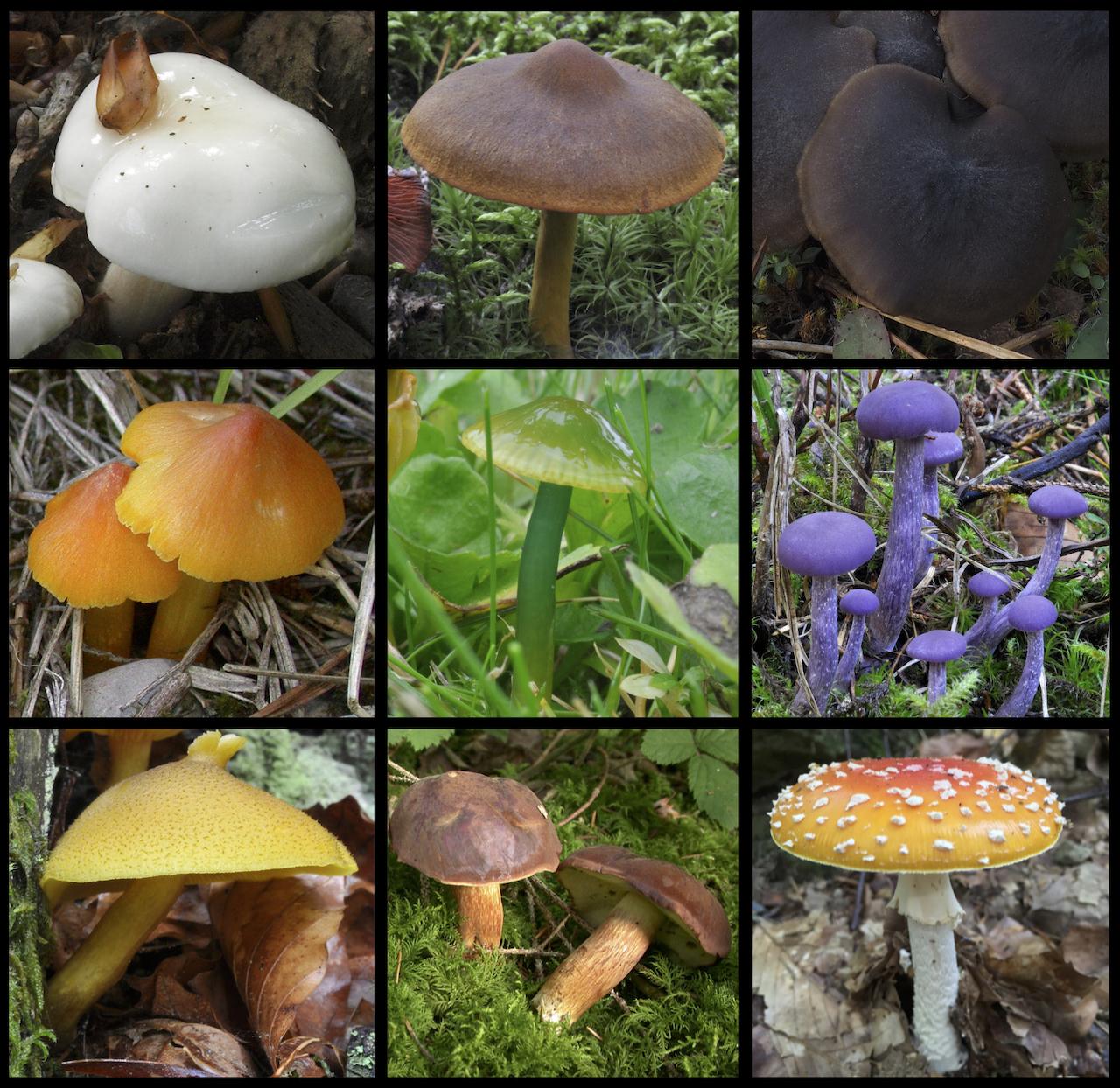 Color diversity of mushrooms