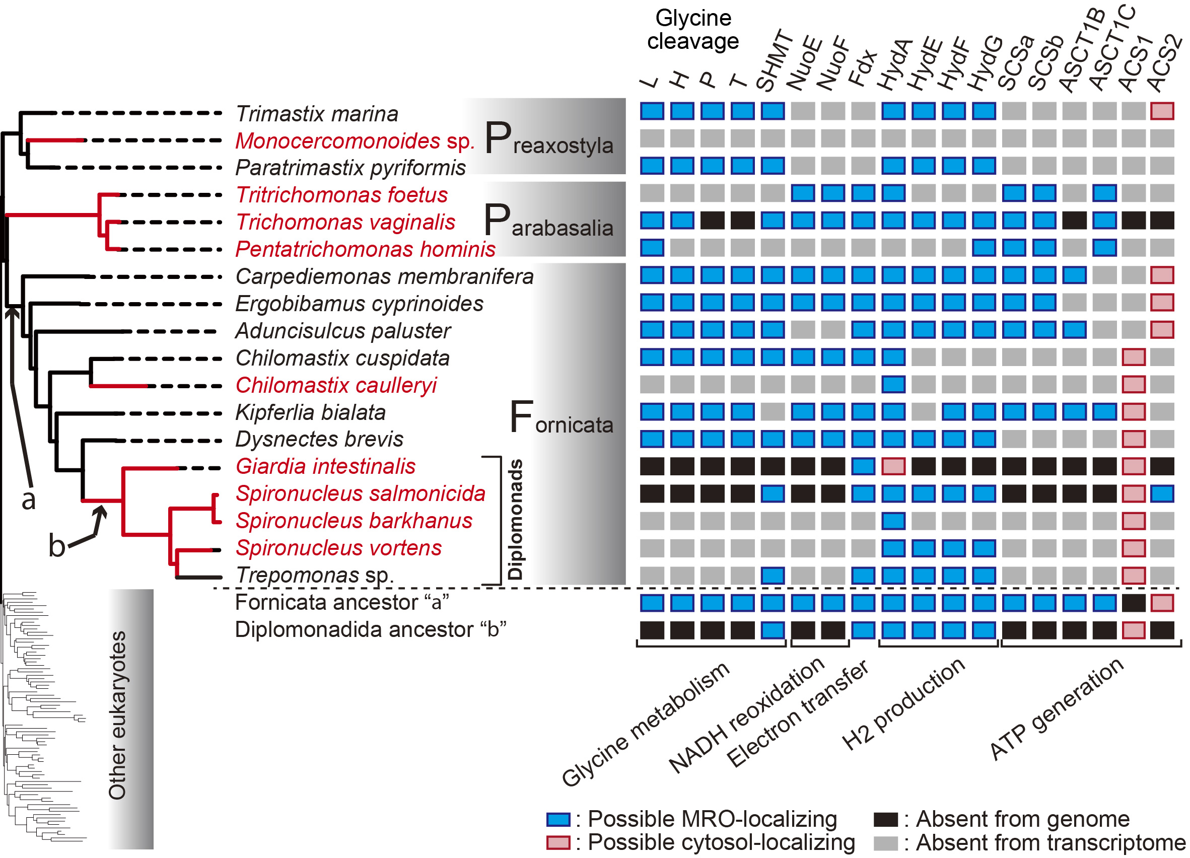 From the paper: Phylogeny of Metamonada (left) and distribution of MRO-localizing proteins (right)