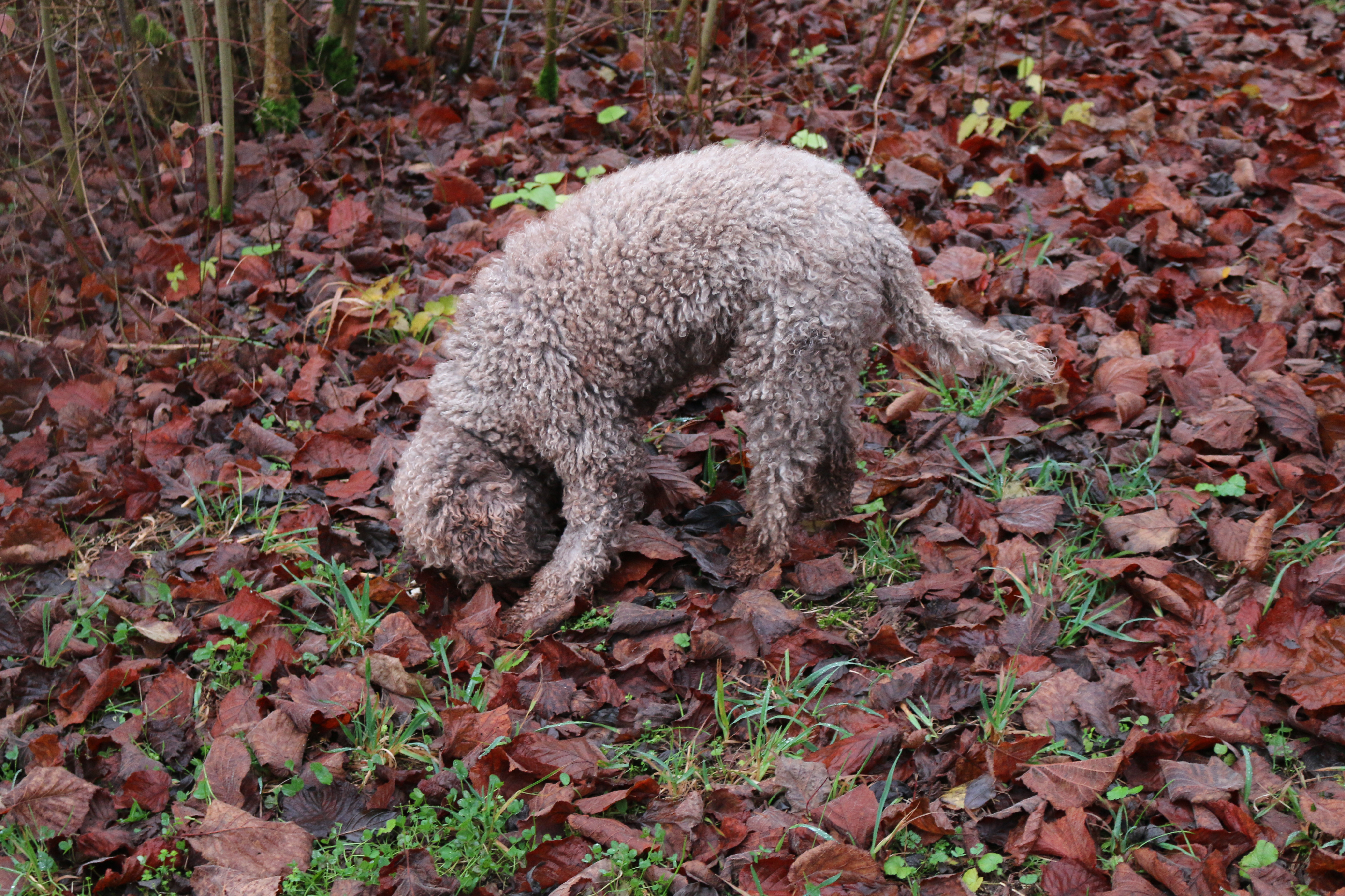 Biloba, a Lagotto Romagnolo bred primarily as a truffle-searching dog