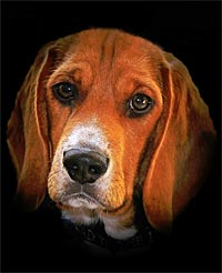 Fine art photography: Beagle Portrait