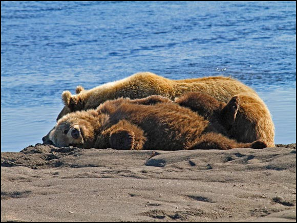 Fine Art Photography - Kodiak bears relaxing by the water in Alaska