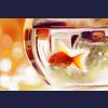Golden fish :)