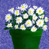 A pot of daisies...