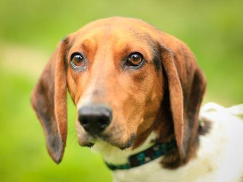 The New Classical FM Pet of the Week: Chip the 5 year old male hound mix featured image