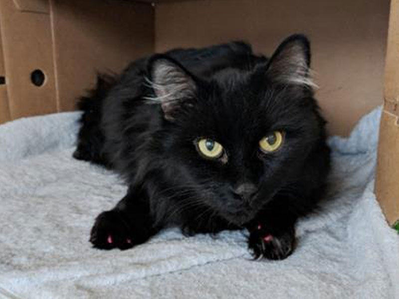 The New Classical FM Pet of the Week: Nimble the 8-year-old male cat featured image