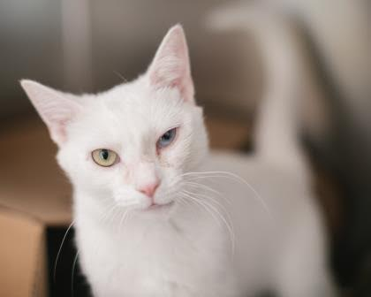 The New Classical FM Pet of the Week: Helene the one-year-old female cat featured image