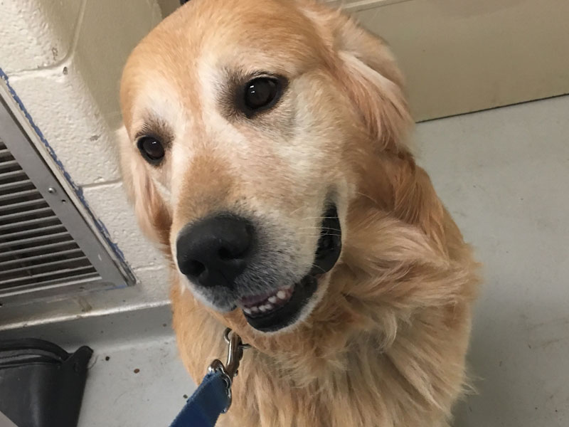 The New Classical FM Pet of the Week: Gold the Golden Retriever featured image