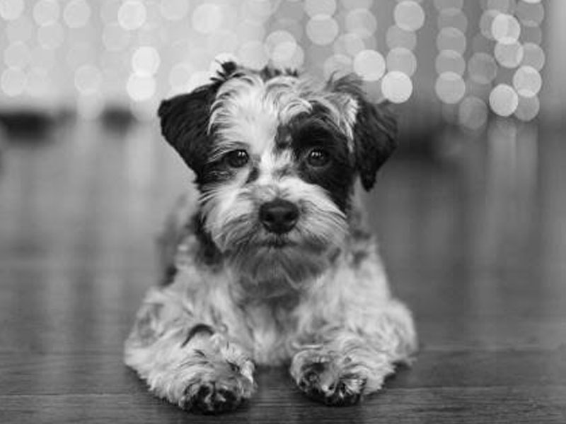 The New Classical FM Pet of the Week: Zeek the Yorkshire-Terrier Mix
