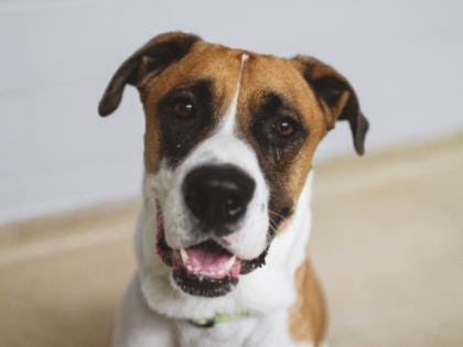 The New Classical FM Pet of the Week: Caleb the 4-year-old male dog featured image