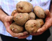 handfull-of-kerrs-pink-potatoes-east-cork-gettyimages[1]
