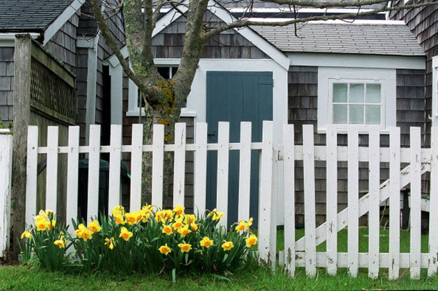 nantucket-daffodils